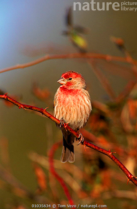 Male House finch perched, Long Island, USA  ,  BIRDS,FINCHES,ISLAND,LONG,MALE,MALES,NEW,NORTH AMERICA,NY,PERCHED,PORTRAITS,TV,USA,YORK  ,  Tom Vezo