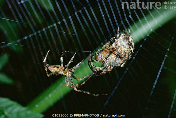 Garden Spider male courting much larger female (Araneus diadematus) UK  ,  BRITISH,DIFFERENCE,EUROPE,HORIZONTAL,INVERTEBRATE,INVERTEBRATES,KPM,LARGER,MALE,MALE FEMALE PAIR,MATING BEHAVIOUR,SEXUAL DIMORPHISM,SIZE,TWO,UK,WILDLIFE,UNITED KINGDOM,REPRODUCTION  ,  PREMAPHOTOS