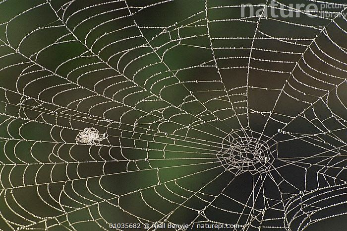 Cobweb covered in dew, Aviemore, Inverness, Scotland, UK  ,  ARACHNIDS,ARTHROPODS,ARTY SHOTS,CLOSE UPS,DEW,HOMES,INVERTEBRATES,MEADOWLAND,PATTERNS,SCOTLAND,SPIDERS,WEB,Europe,Grassland  ,  Niall Benvie