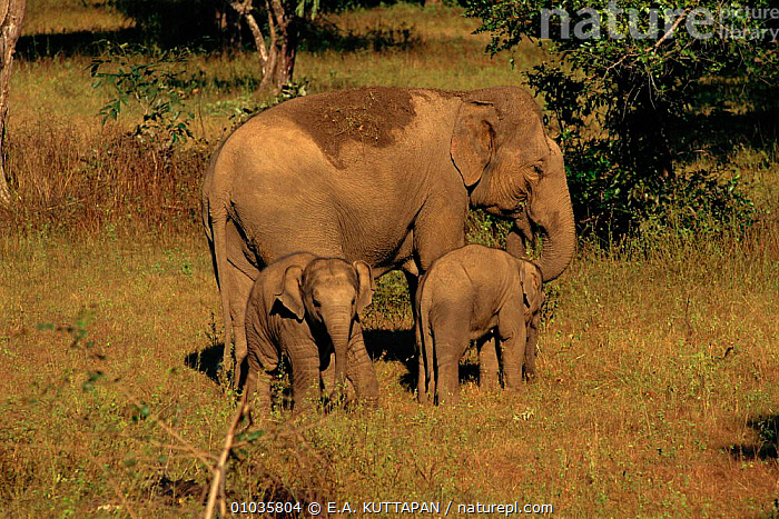 Indian elephant {Elephas maximus} mother with baby + 2nd baby from herd Bandhavgarh NP, India.  ,  NP,BANDHAVGARH,FAMILIES,INDIA,HERD,MOTHER,KU,RESERVE,BABIES,BABY,INDIAN SUBCONTINENT,THREE,ELEPHANTS,FEMALES,CUTE ,MAMMALS,HORIZONTAL,ASIA,NATIONAL PARK  ,  E.A. KUTTAPAN