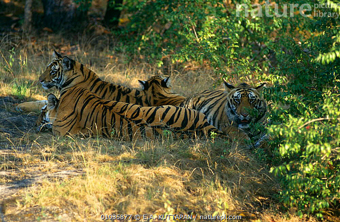 Tiger {Panthera tigris} female (Sita) with litter of one-year cubs, Bandhavgarh NP, Rajasthan, India  ,  ASIA,BIG CATS,CARNIVORES,CATS,ENDANGERED,FAMILIES,INDIA,JUVENILE,MAMMALS,RESERVE,TIGERS,WOODLANDS  ,  E.A. KUTTAPAN