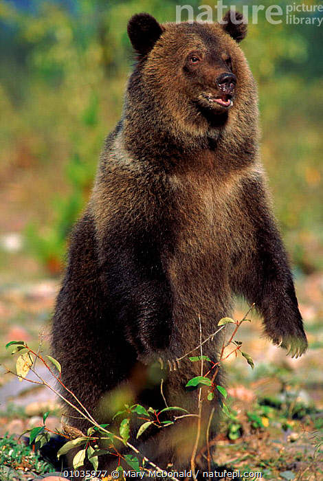 Grizzly bear standing on hind feet. USA (captive)  ,  STANDING,POWERFUL,DRAMATIC,PORTRAITS,USA,CAPTIVE,AGGRESSION,CARNIVORES,MMC,VERTICAL,MAMMALS,NORTH AMERICA,CONCEPTS ,BROWN BEAR  ,  Mary McDonald