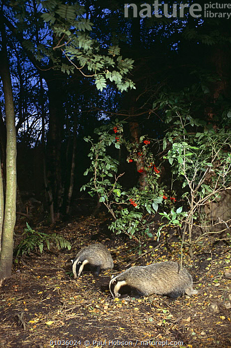 Badgers {Meles meles} foraging in woodland, Yorkshire, UK  ,  BADGERS,CARNIVORES,ENGLAND,EUROPE,FEEDING,FORAGING,MAMMALS,MUSTELIDS,NIGHT,PAIR,TWO,UK,VERTEBRATES,VERTICAL,WOODLANDS,United Kingdom,British  ,  Paul Hobson