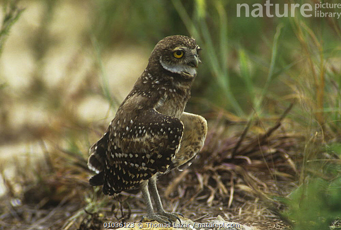 Burrowing owl (Athena cunicularia) with wings open for cooling down, Florida, USA  ,  BEHAVIOUR,BIRDS,BIRDS OF PREY,JUVENILE,OWLS,THERMOREGULATION,USA,VERTEBRATES,WINGS,North America,Raptor  ,  Thomas Lazar