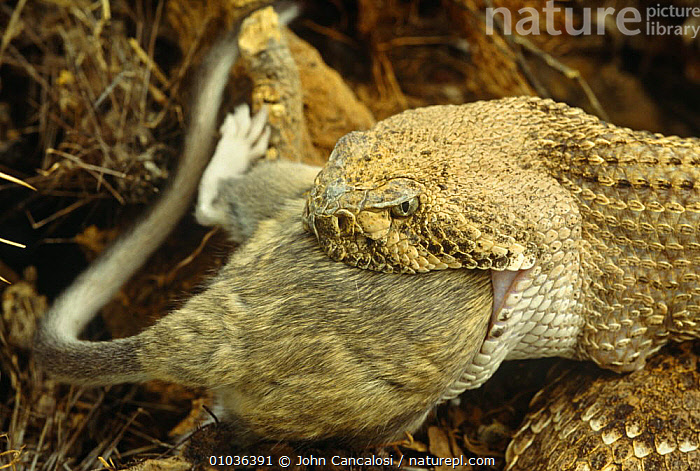 Western diamondback rattlesnake (Crotalus atrox) eating wood rat, Arizona, USA, captive  ,  DESERTS,EATING,FEEDING,MOUTHS,NORTH AMERICA,PREDATION,PREY,REPTILES,RODENTS,SNAKES,USA,VERTEBRATES,VIPERS,Behaviour,Mammals, Rattlesnakes, Rattlesnakes  ,  John Cancalosi