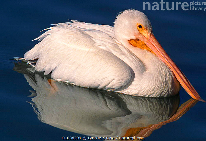 American white pelican on water, Florida, USA, BIRDS,FLORIDA,HORIZONTAL,LS,NORTH AMERICA,OUTSTANDING,PORTRAITS,SEABIRDS,USA,WATER, Lynn M Stone