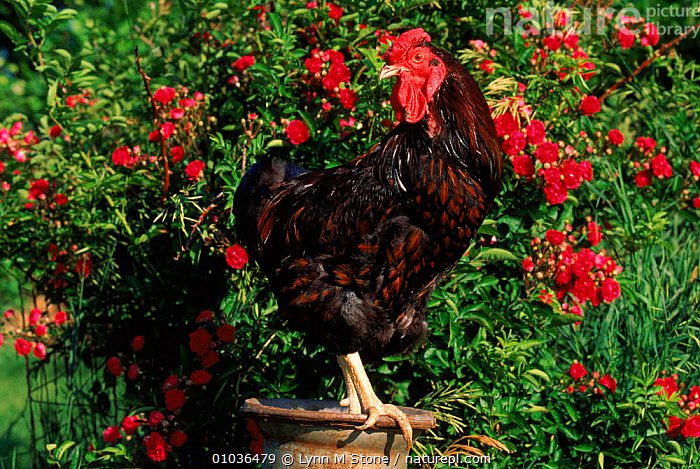 Domestic chicken, breed Red Dorking rooster, USA  ,  ROOSTER,DORKING,USA,RED,LIVESTOCK,BIRDS,LS,MALES,HORIZONTAL,NORTH AMERICA  ,  Lynn M Stone