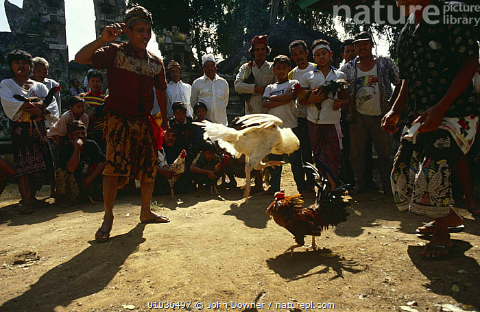 Cock {Gallus gallus domesticus} fighting, Bali, Indonesia  ,  ACTION,ASIA,BIRDS,CHICKEN,ENTERTAINMENT,FIGHTING,GAMBLING,INDONESIA,INTERACTION,PEOPLE,SOUTH EAST ASIA,TRADITIONAL,Aggression,Concepts,SOUTH-EAST-ASIA  ,  John Downer