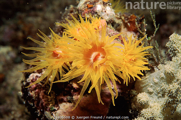 Tube coral. Philippines, Pacific, CORAL REEFS,JFR,HORIZONTAL,ASCHELMINTHS,CORALS,PHILIPPINES,MARINE,SOUTH EAST ASIA,PACIFIC,,ASIA,INVERTEBRATES,ANTHOZOANS, CNIDARIA,SOUTH-EAST-ASIA, Jurgen Freund