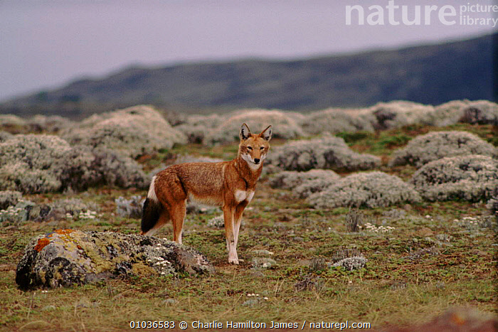 Simien jackal (Ethiopian wolf)  Sanetti plateau, Ethiopia.  ,  SANETTI,ETHIOPIAN,CHJ,EAST AFRICA,PLATEAU,WOLF,HIGHLANDS,ETHIOPIA,CARNIVORES,HORIZONTAL,MAMMALS,ENDANGERED,AFRICA  ,  Charlie Hamilton James