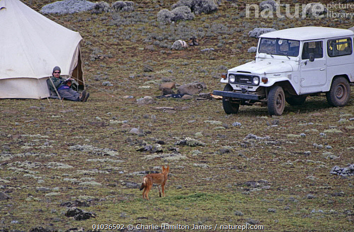 Simien jackal {Canis simensis} at camp site, Sanetti plateau, Ethiopia  ,  CAMPS,CANIDS,CARNIVORES,CURIOUS,DOGS,EAST AFRICA,ENDANGERED,ETHIOPIAN,HIGHLANDS,JACKALS,MAMMALS,NORTH AFRICA,PEOPLE,TENTS,VEHICLES,WOLF,Africa  ,  Charlie Hamilton James