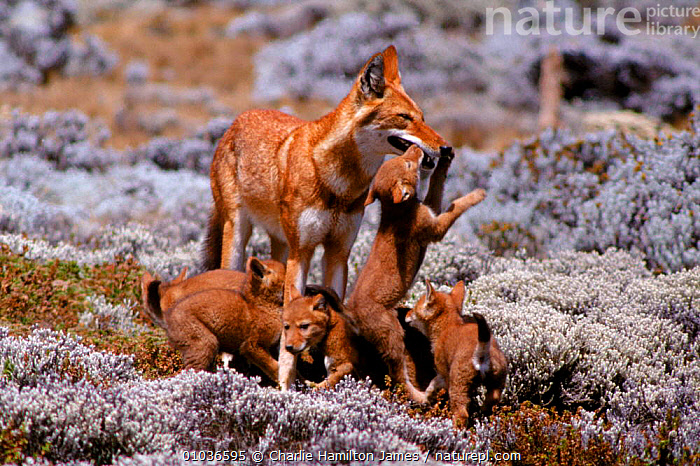 Simien jackal (Ethiopian wolf) with cubs. Sanetti plateau, Ethiopia  ,  EAST AFRICA,BABIES,JACKAL,ETHIOPIA,ENDANGERED,PLAY,SANETTI,WOLF,FAMILIES,CARNIVORES,CHJ,MAMMALS,HIGHLANDS,EHTIOPIAN,CUTE,HORIZONTAL,AFRICA,COMMUNICATION  ,  Charlie Hamilton James