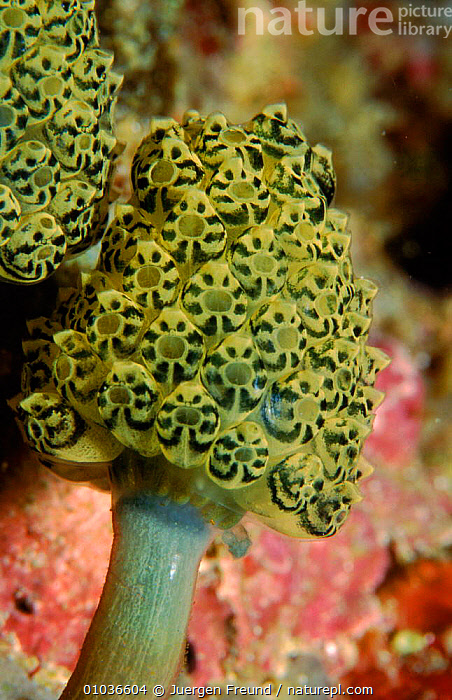 Colony of tunicates (sea squirts) . Pacific, Phillippines  ,  GROUPS,VERTICAL,PATTERNS,JFR,,PHILLIPPINES,SEASQUIRT,CORAL REEFS,MARINE  ,  Jurgen Freund