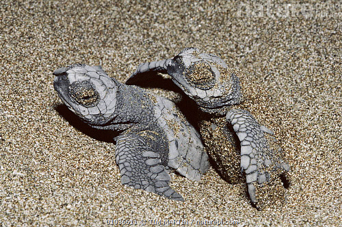 Olive Ridley turtle hatchlings on beach in Costa Rica  ,  LITTORAL,COSTA,SAND,CENTRAL AMERICA,HORIZONTAL,COASTS,MARINE,TIM,RICA,BABIES,TWO,INTERTIDAL,CHELONIA, TURTLES REPTILES,CHELONIA,TESTUDINES,TURTLES  ,  TIM MARTIN