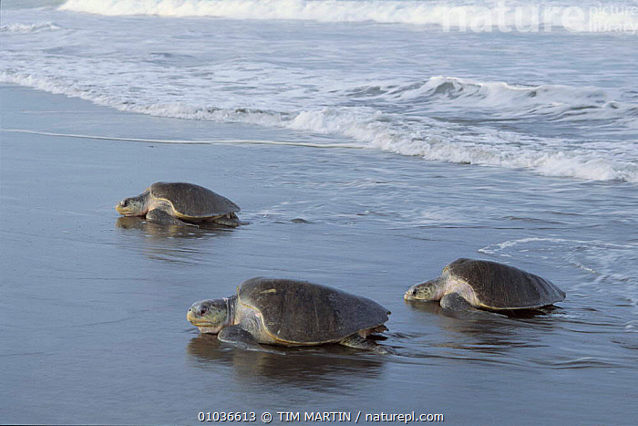 Olive Ridley turtles come ashore to lay eggs, Costa Rica  ,  BEACHES,CENTRAL AMERICA,COASTS,COSTA,DUSK/SUNSET,EGGS,FEMALES,HORIZONTAL,LAYING,LITTORAL,MARINE,RICA,THREE,TIM,INTERTIDAL,CHELONIA, TURTLES REPTILES,CHELONIA,TESTUDINES,TURTLES  ,  TIM MARTIN