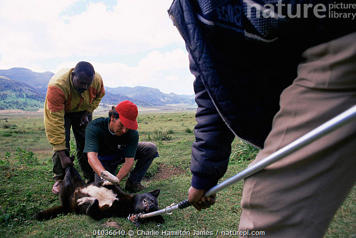 Vets vaccinate Domestic dog against rabies. Ethiopia.  ,  AFRICA,DISEASE,EAST AFRICA,EAST AFRICA,PEOPLE,PETS,TRIBES,VACCINATION,VET , PET CARE,EAST-AFRICA  ,  Charlie Hamilton James