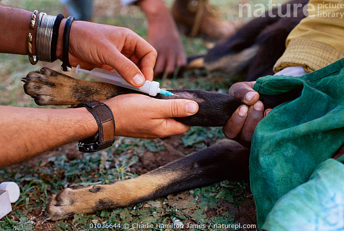 Vets vaccinate Domestic dog against rabies. Ethiopia.  ,  AFRICA,disease,DOGS,EAST AFRICA,injection,PEOPLE,PETS,Vaccination,vet , PET CARE,EAST-AFRICA  ,  Charlie Hamilton James