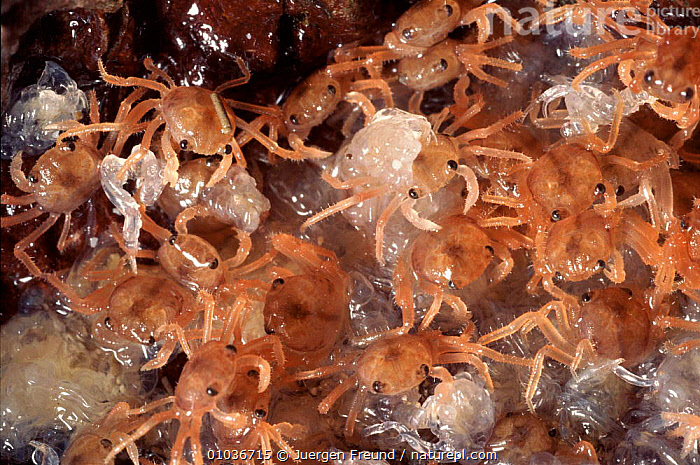 Baby Christmas Island red crabs moulting after coming ashore.  ,  ARTHROPODS,BABY,CRUSTACEANS,GROUPS,HORIZONTAL,INVERTEBRATES,JFR,JUVENILE,MARINE,MIGRATION,MOULTING  ,  Jurgen Freund