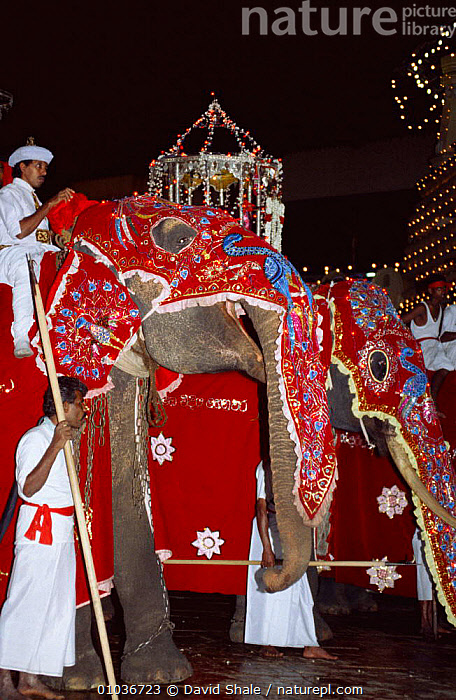 Decorated Indian elephant {Elephas maximus} in festival procession at night, Kandy, Sri Lanka  ,  CULTURES,DOMESTIC,DOMESTICATED,ELEPHANTS,ENDANGERED,FESTIVALS,INDIAN SUBCONTINENT,MAHOUT,MAMMALS,NIGHT,ORNATE,PEOPLE,PROBOSCIDS,TRADITIONAL,VERTEBRATES,VERTICAL,Asia  ,  David Shale