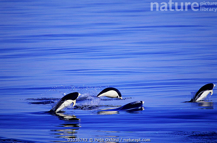 Southern right whale dolphins porpoising (Lissodelphis peronii) Pacific off Peru  ,  CETACEANS,COASTAL WATERS,JUMPING,LEAPING,MAMMALS,MARINE,PACIFIC,PERU,PO,PORPOISING,SOUTH AMERICA,SURFACE,DOLPHINS, Mammals  ,  Pete Oxford