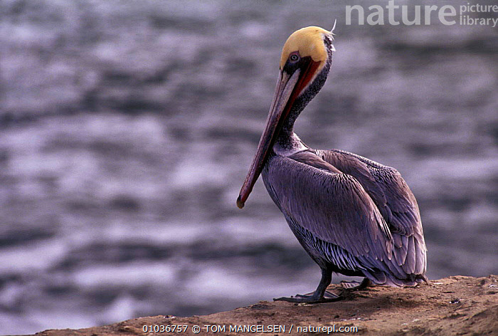 Portrait brown pelican (Pelecanus occidentalis) California, USA.  ,  BIRDS,USA,SEABIRDS,PORTRAITS,PELICANS,NORTH AMERICA  ,  TOM MANGELSEN