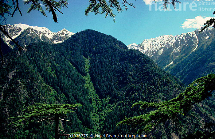 Tragopan forests on south side Palas Valley, Pakistan  ,  HORIZONTAL,PALAS,MOUNTAINS,NORTH,INDIAN,SUBCONTINENT,TREES,SNOW,FORESTS,TRAGOPAN,VALLEY,PLANTS,Asia,INDIAN-SUBCONTINENT  ,  Nigel Bean