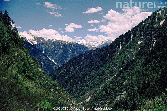 View across the forests. Upper-Palas, Northern Pakistan, VIEW,CONIFEROUS,HORIZONTAL,SNOW,PLANTS,NORTHERN,TREES,MOUNTAINS,NORTH,INDIAN,SUBCONTINENT,FORESTS,Asia,INDIAN-SUBCONTINENT, Nigel Bean