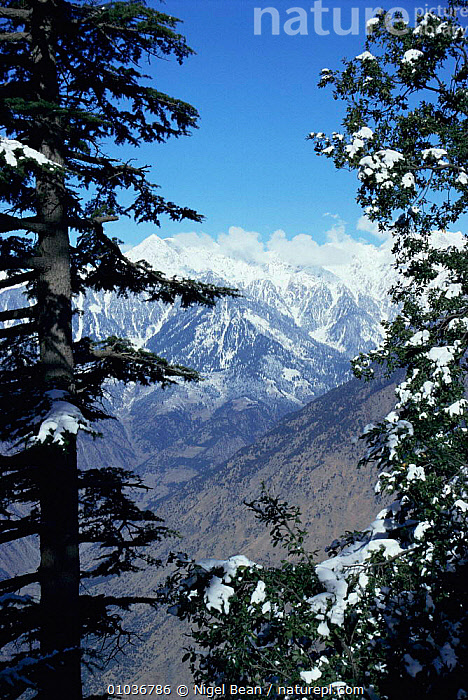 Indus Valley from Palas Valley. Indus Kohistan, Pakistan, ASIA,INDIAN SUBCONTINENT,MOUNTAINS,SNOW,TREES,VERTICAL,WINTER,Plants,INDIAN-SUBCONTINENT, Nigel Bean