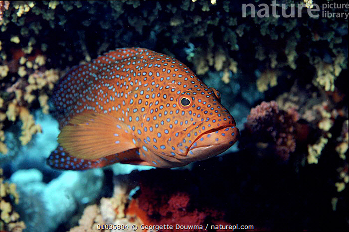 Coral hind (grouper) in coral reef, Red Sea  ,  COLOURFUL,CORAL REEFS,FISH,GD,GROUPERS,MARINE,RED,SEA,TROUT  ,  Georgette Douwma