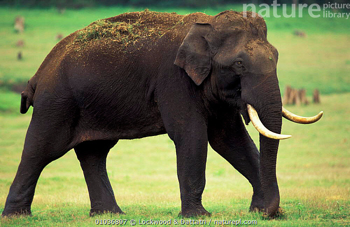 Indian elephant tusker grazing. Kabini NP southern . India (Elephas maximus)  ,  ELEPHANTS,MALES,INDIAN SUBCONTINENT,GRAZING,ASIA ,MAMMALS,VERTEBRATES,ENDANGERED,ELEPHANTS  ,  Lockwood & Dattatri