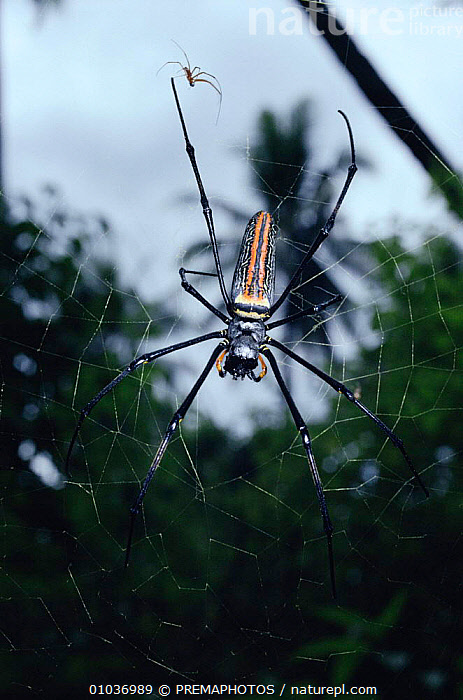 Giant wood spider female on web (Nephilia maculata) and much smaller male above, tropical rainforest, Sulawesi  ,  INDONESIA, INVERTEBRATES, MALES, ORB-WEAVER-SPIDERS, SPIDERS, tropical-rainforest, ARACHNIDS, ARTHROPODS, ASIA, FEMALES, SIZE, VERTICAL  ,  PREMAPHOTOS