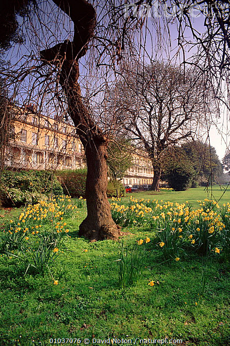 Daffodils in spring. Caledonia Place, Clifton, Bristol, England, UK, Europe  ,  SPRING,TREES,DAFFODILS,,PLANTS,CALEDONIA,CLIFTON,VERTICAL,BUILDINGS,CITIES,FLOWERS ,URBAN,EUROPE,UNITED KINGDOM,BRITISH  ,  David Noton