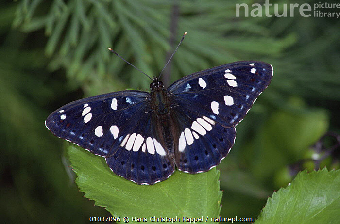 Southern white admiral butterfly (Limenitis reducta) on leaves, Germany  ,  ARTHROPODS,BUTTERFLIES,EUROPE,GERMANY,INSECTS,INVERTEBRATES,LEPIDOPTERA,PORTRAITS  ,  Hans Christoph Kappel
