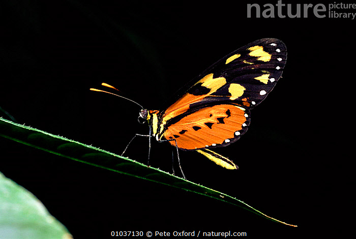 Amazon butterfly. Tropical-rainforest, Ecuador  ,  AMAZON,BUTTERFLY,COLOURFUL,HORIZONTAL,INSECTS,INVERTEBRATE,INVERTEBRATES,TROPICAL RAINFOREST  ,  Pete Oxford