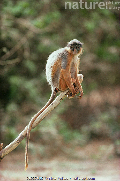 West african red Colobus monkey (Procolobus badius) Gambia, Endangered  ,  AFRICA,Cercopithecidae,COLOBUS MONKEYS,ENDANGERED,MAMMALS,MONKEYS,PORTRAITS,PRIMATES,RED,VERTICAL,WEST AFRICA  ,  Mike Wilkes