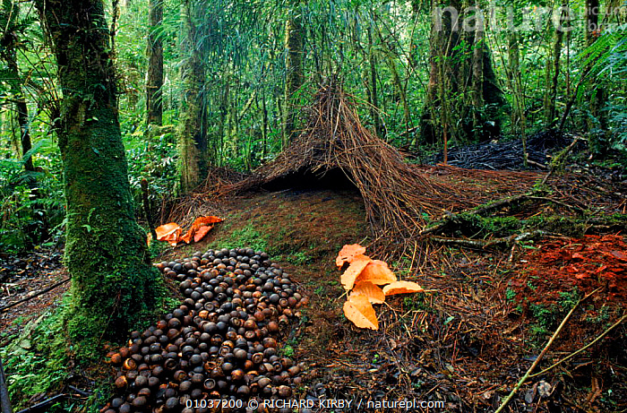 Bower of the Vogelkop gardener bowerbird (Amblyornis inornata) built by the male to attract a female, Irian Jaya / West Papua, Western New Guinea  ,  ASIA, BIRDS, BOWERBIRDS, COMMUNICATION, DISPLAY, INTERESTING, PACIFIC-ISLANDS, TROPICAL-RAINFOREST, VERTEBRATES  ,  RICHARD KIRBY