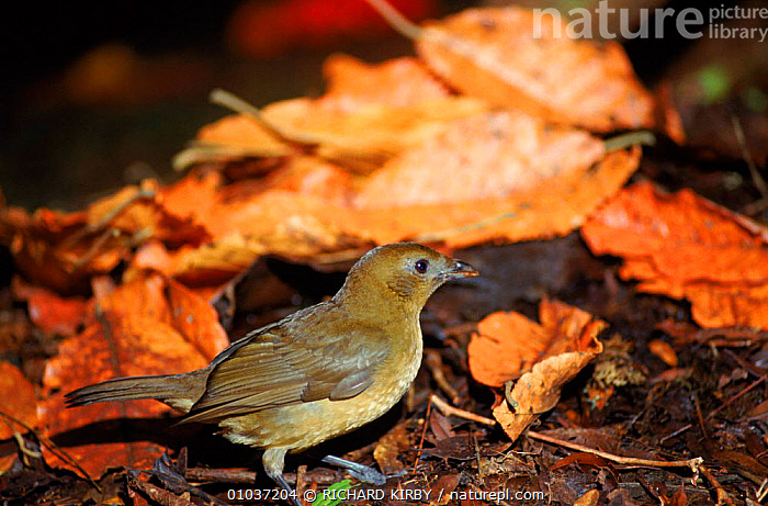 Vogelkop gardener bowerbird male tending bower to attract mate Irian Jaya / West Papua, Western New Guinea  ,  ASIA, BIRDS, BOWERBIRDS, HORIZONTAL, REPRODUCTION, TROPICAL-RAINFOREST, VERTEBRATES  ,  RICHARD KIRBY