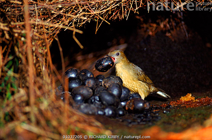 Vogelkop gardener bowerbird male tending bower to attract mate Irian Jaya / West Papua, Western New Guinea  ,  ASIA, BIRDS, BOWERBIRDS, COMMUNICATION, DISPLAY, REPRODUCTION, TROPICAL-RAINFOREST, VERTEBRATES  ,  RICHARD KIRBY