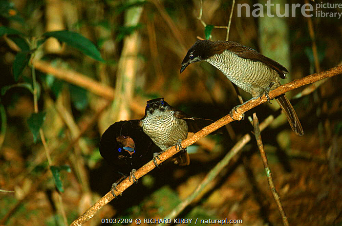 Arfak parotia bird of paradise male (left) courting two females, Irian Jaya, Western New Guinea (West Papua).  ,  RK,SOUTH EAST ASIA,MALE FEMALE PAIR,JAYA,GUINEA,MALE,PAPUA NEW GUINEA,IRIAN,TROPICAL RAINFOREST,,MATING BEHAVIOUR,BIRDS,FEMALES,HORIZONTAL,THREE ,BIRDS OF PARADISE,ASIA,REPRODUCTION  ,  RICHARD KIRBY
