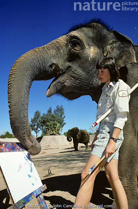 Indian elephant {Elaphus maximus} painting picture with trunk in zoo, with keeper, USA  ,  ANTHROPOMORPHIC,ART,ELEPHANTS,ENDANGERED,INTELLIGENCE,MAMMALS,PEOPLE,PROBOSCIDS,PROBOSCIS,USA,VERTEBRATES,VERTICAL,ZOOS,North America  ,  John Cancalosi