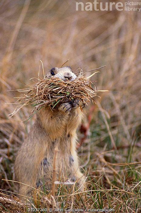 White tailed prairie dog female (Cynomys leucurus) collecting nesting material Colorado USA.  ,  MAMMALS,PARENTAL,BEHAVIOUR,FEMALES,RODENTS,USA,VERTICAL,North America,Grassland  ,  John Cancalosi
