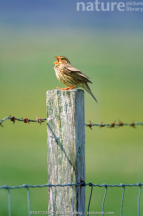 Corn bunting singing on post, UK.  ,  ENGLAND,EUROPE,SINGING,VOCALISATION,BIRDS,POST,DTI,PASSERINES,UK,VERTICAL,UNITED KINGDOM,BRITISH  ,  David Tipling