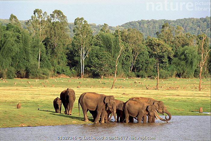 Indian elephants drinking Kabini NP India  ,  DRINKING,FAMILIES,GROUPS,HORIZONTAL,INDIA,INDIAN SUBCONTINENT,KABINI,LOC,MAMMALS,NP,PROBOSCIDS,WATER,ASIA,NATIONAL PARK,ELEPHANTS  ,  Lockwood & Dattatri