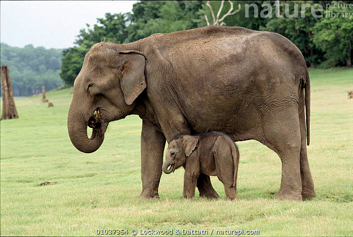 Indian elephant mother & baby Kabini NP India  ,  BABIES,BABY,FAMILIES,FEMALES,HORIZONTAL,INDIA,INDIAN SUBCONTINENT,KABINI,LOC,MAMMALS,NP,PROBOSCIDS,RESERVE,TWO,ASIA,NATIONAL PARK,ELEPHANTS  ,  Lockwood & Dattatri