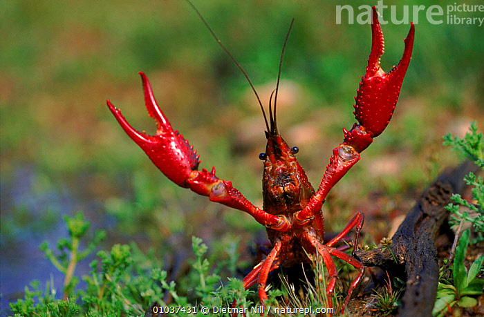 Louisiana swamp crayfish, Germany  ,  HORIZONTAL,CRUSTACEANS,EUROPE,FRESHWATER,CLAWS,GERMANY,DN,RED,INVERTEBRATES,USA,North America  ,  Dietmar Nill