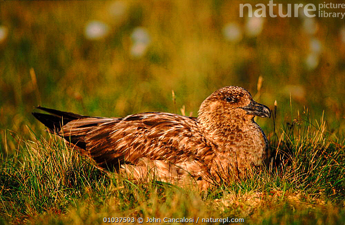 Great skua (Catharacta skua) on nest. Shetland Islands, Scotland, UK, Europe  ,  HORIZONTAL,NEST,BIRDS,SCOTLAND,NESTING BEHAVIOUR,UK,PORTRAITS,GROUND,SEABIRDS,SHETLAND,EUROPE,UNITED KINGDOM,REPRODUCTION,BRITISH  ,  John Cancalosi