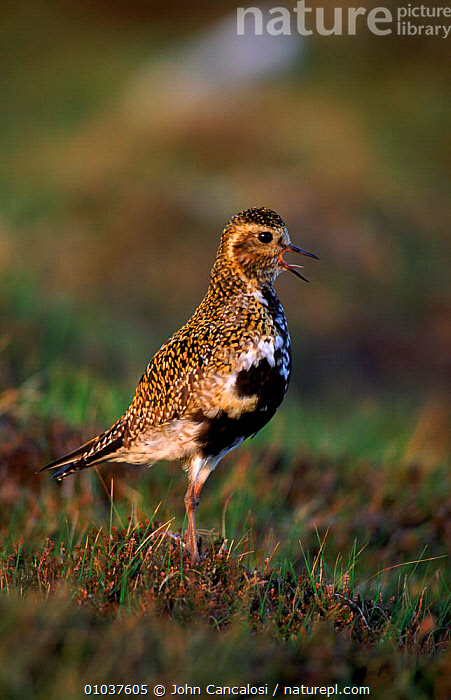 Golden plover calling, Scotland, Shetland Islands, UK. Breeding plumage  ,  BIRDS,BREEDING,BRITISH,EUROPE,ISLANDS,JCA,PLUMAGE,SCOTLAND,SHETLAND,UK,UNITED KINGDOM,VERTICAL,VOCALISATION,WADERS  ,  John Cancalosi