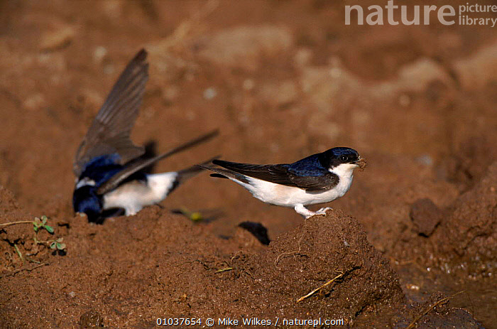 House martins collecting mud for nests, Spain.  ,  BIRDS, EUROPE, HORIZONTAL, REPRODUCTION, SPAIN, SWALLOWS, VERTEBRATES  ,  Mike Wilkes