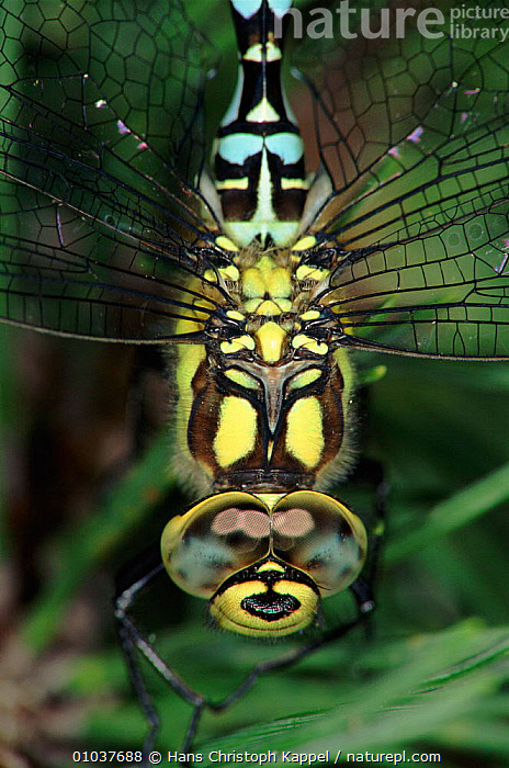 Southern hawker dragonfly head close-up, Germany  ,  FACES,GERMANY,INSECTS,EUROPE,HK,CLOSE UPS,WETLANDS,EYES,COLOURFUL,VERTICAL,INVERTEBRATES,ODONATA  ,  Hans Christoph Kappel