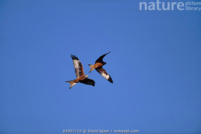 Red kite (Milvus milvus) in flight. Wales, UK, Europe  ,  HORIZONTAL,WALES,TWO,FLIGHT,,UK,BIRDS,VERTICAL,,FLYING ,BIRDS OF PREY ,HIGH ANGLE,EUROPE,UNITED KINGDOM,BRITISH ,low angle  ,  David Kjaer